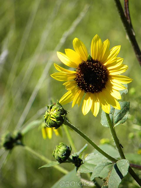 DSCN6644 Kansas Sunflowers