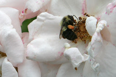 bumble on rose