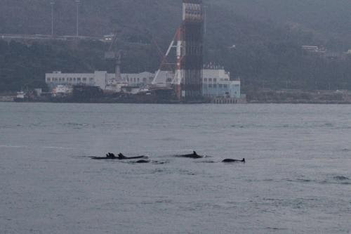 罕有品種偽虎鯨大群於大嶼山東北水域出現