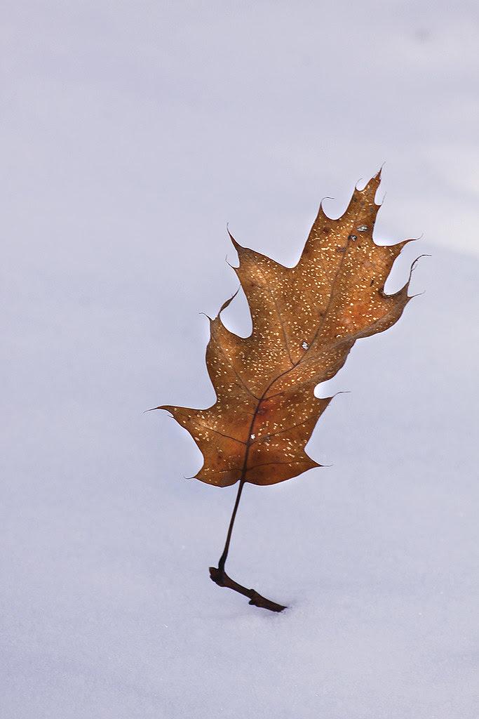 brave oak leaf