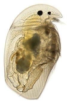 Mic Uk Water Fleas