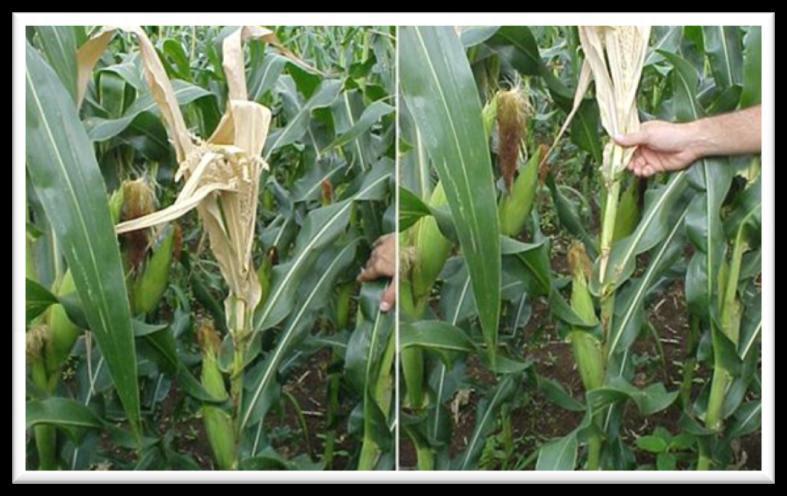 Image result for diagnose visual de plantas milho