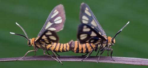 mating pair of tiger moth bugs porn ....IMG_32289 copy