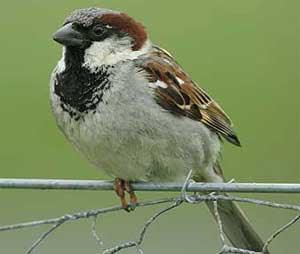 sparrow 300