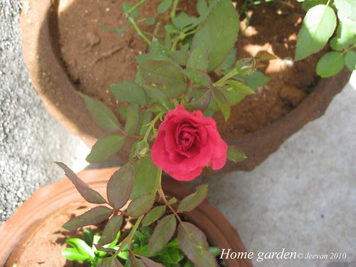 little rose