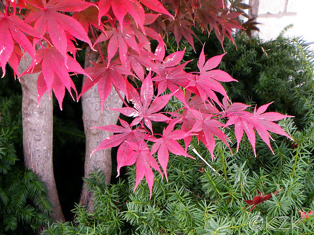 DSCN7292 Japanese Maple