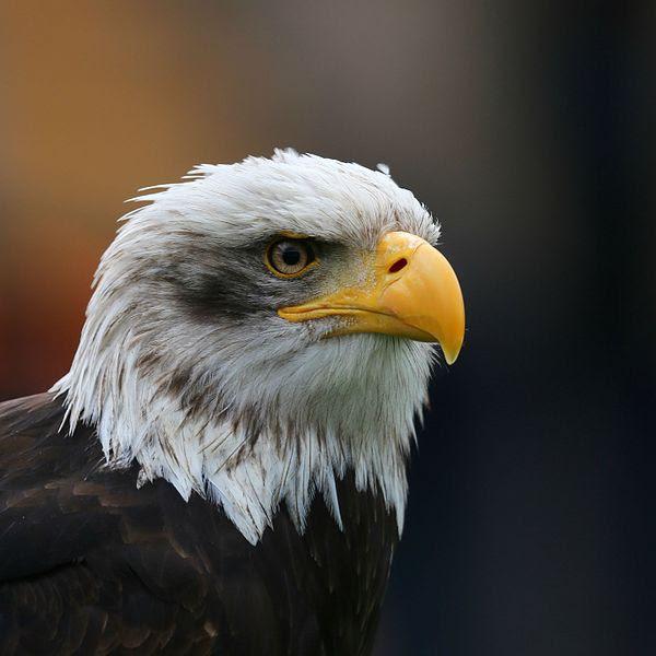 File:Bald Eagle Head sq.jpg