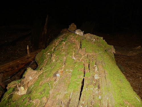 woodrat