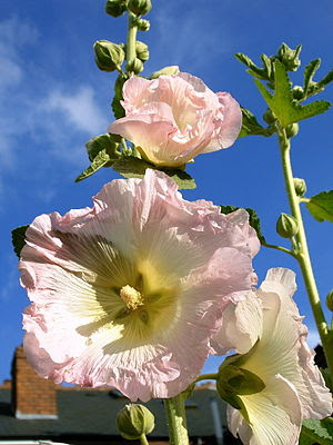 Hollyhock flower, apple-blossom pale pink.