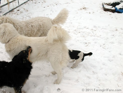 Dogs Playing in the Snow 3