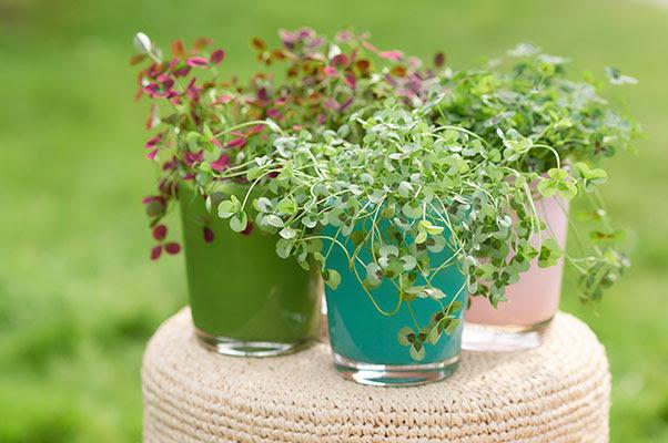 Cool Clover Trifolium Is Een Aanwinst Voor Tuin Terras Of Balkon