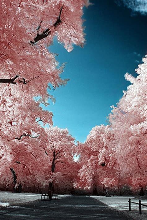 cherry blossom phone wallpaper gallery