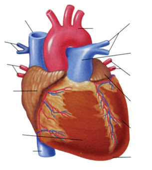 Heart Anatomy Unlabeled - ClipArt Best