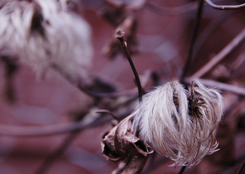 Clematis in waiting