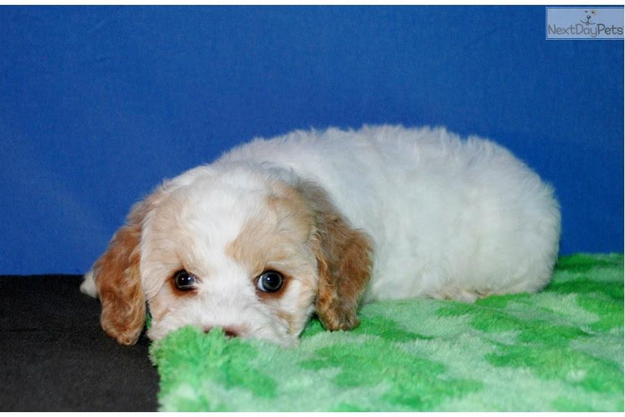 Cockapoo puppy for sale near Jonesboro, Arkansas ...