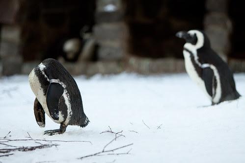 Penguins Artis Zoo Amsterdam, Holland