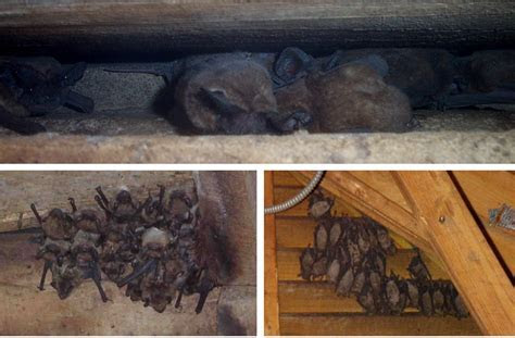 Bats In the Attic   How to Get Rid of & Remove