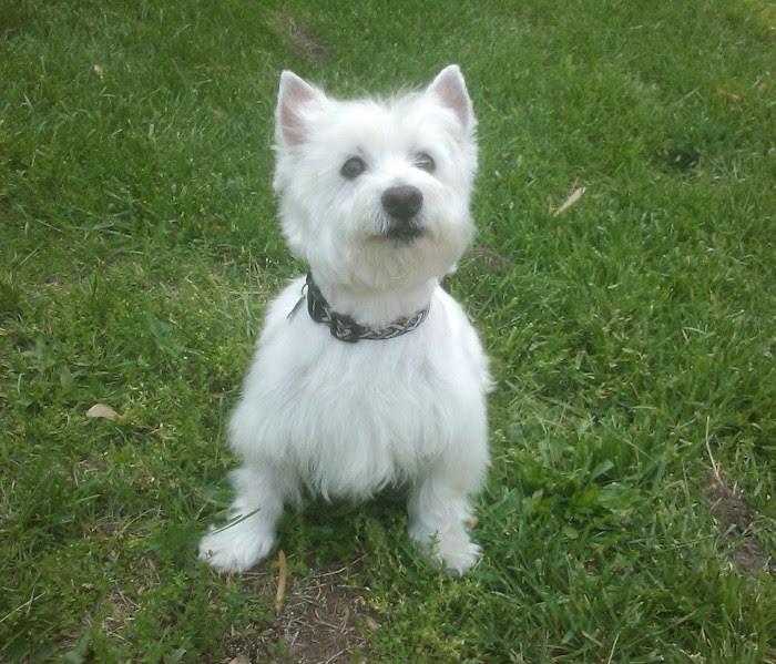 ABCs of Animal World: Amazingly Beautiful All-White Breeds of Dog