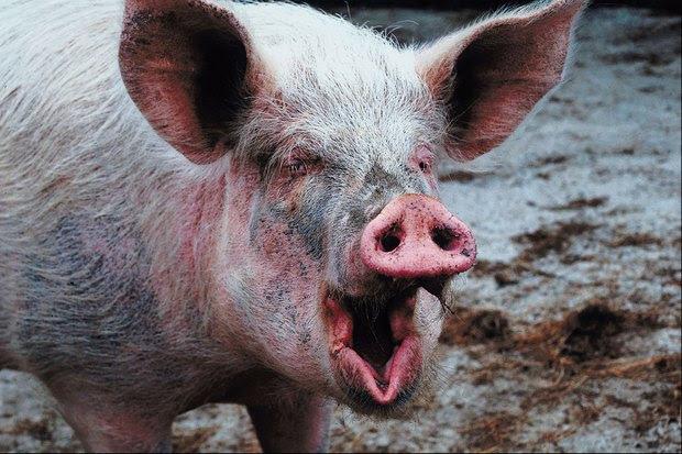 Resultado de imagen para un cerdo