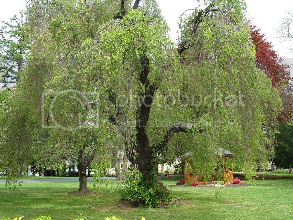 Weeping Willow Pictures, Images and Photos
