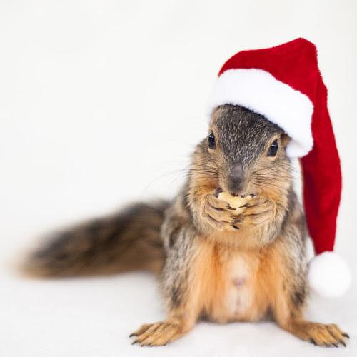 CUTE Squirrel w/ Santa Hat