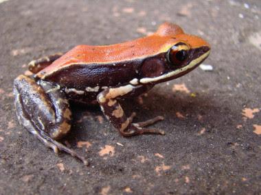 <p>Rana <em>Hydrophylax bahuvistara </em>procedente de Kerala, al sur de la India. / Sanil George y Jessica Shartouny</p>