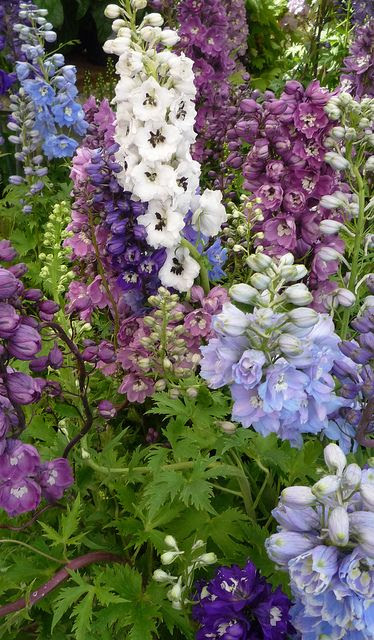 Delphiniums: The Regent's Park by curry15, via Flickr
