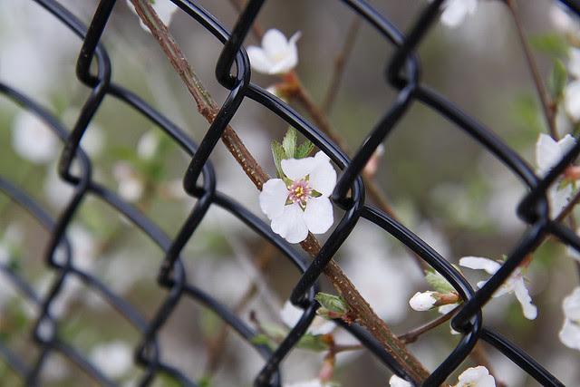blossom through fence