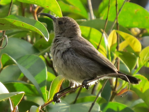female_sunbird-001