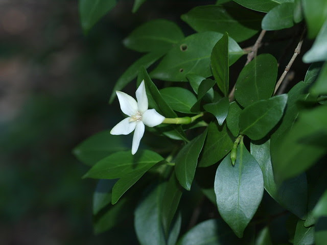 Randia sp. Rubiaceae Gen. (Aq520454) sp. (Shute Harbour D.A.Halford Q811)