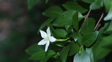 Spiny Gardenia. Sin aroma y con espinas.