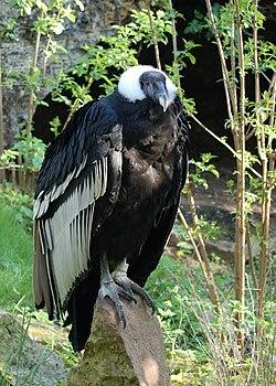 Vultur gryphus -Doué-la-Fontaine Zoo, France-8a.jpg