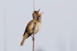 tra gli uccelli abitanti del canneto è quello meno timido,  a volte canta da posatoi ben visibili