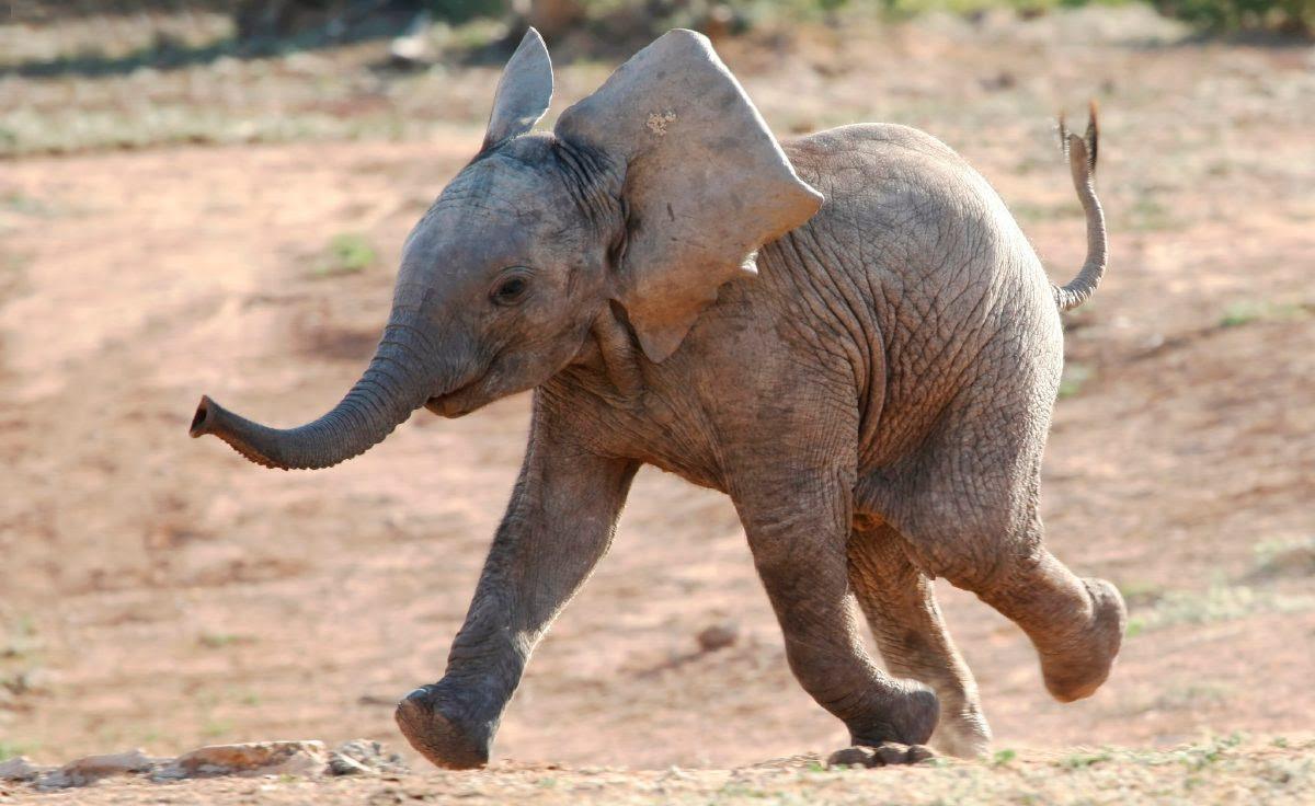 Desarrollo Del Cerebro Del Bebé Elefante Imágenes Y Fotos
