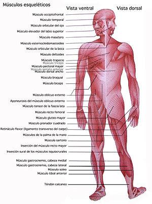 Músculos esqueléticos. No están descritos todos.