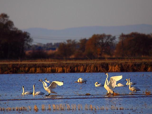 IMG_8700 Tundra Swan, Yuba County, CA