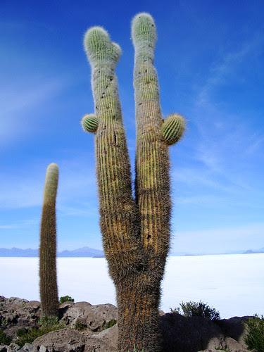 Fish Island cactus