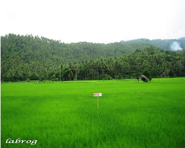 Ricefield in Sorsogon City