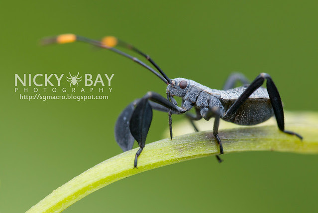 Leaf Footed Bug (Coreidae) - DSC_5033