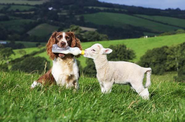 Όταν ο σκύλος… φυλάει τα πρόβατα!