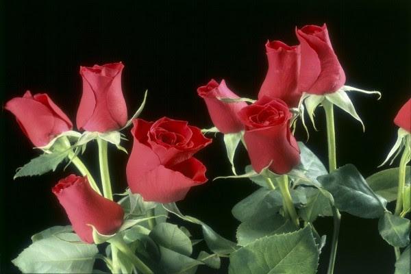 Pimpollos O Capullos De Rosas Rojas 5378