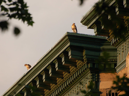 Rooftop Red-Tail Fledglings