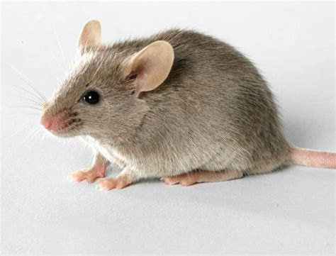 Interesting Facts about Mice and How To Get Rid of Them