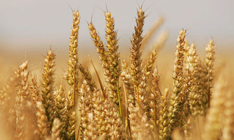 Grain yield per hectare, like any biological growth process, cannot continue rising indefinitely. It has its limits,' said Lester Brown, president of the Earth Institute in Washington. Photograph: Scott Barbour/Getty Images
