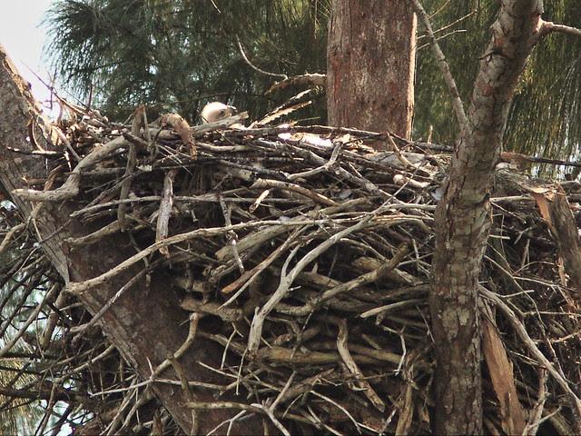 Bald Eagle eaglet 0148 PM 20140124