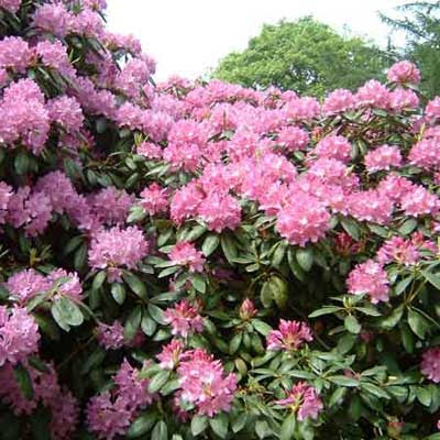 a rhododendron in full bloom with pink flowers