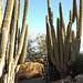 Cacti @ Desert Botanical Gardens