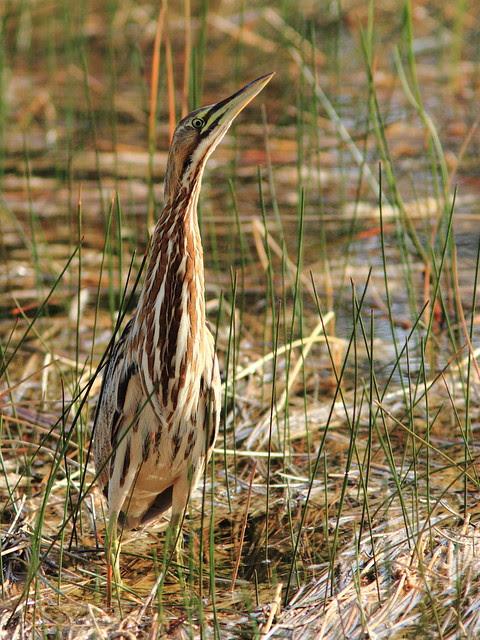 American Bittern Botaurus_lentiginosus 20121218