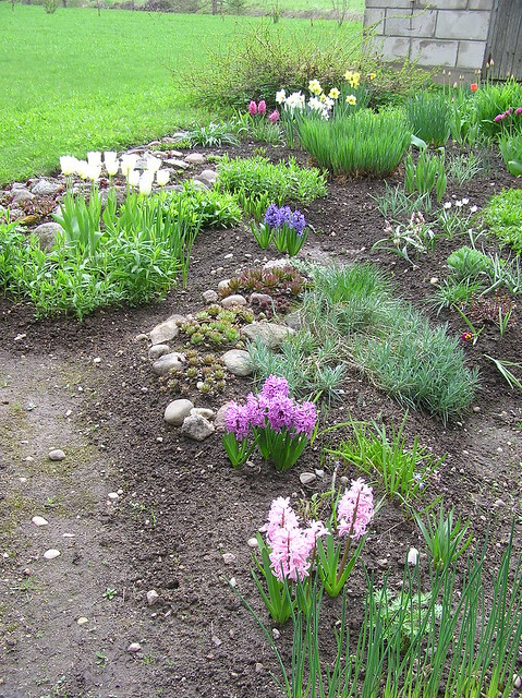Perennials Bed with blooming hyacinths