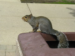 Squirrel on the trash can
